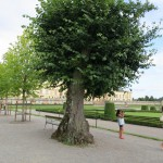 a few of the old linden trees were preserved when the others needed to be replaced